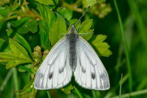 papillon anglais.jpg