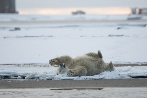 droh-polar-cub-elizabeth-haslam.jpg