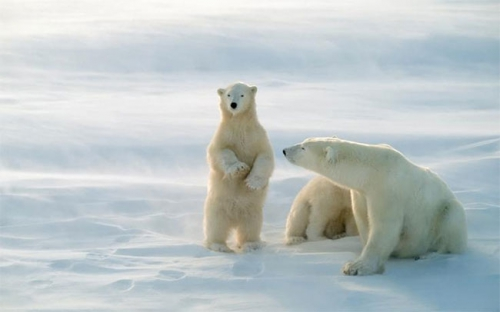 les ours blancs.jpg