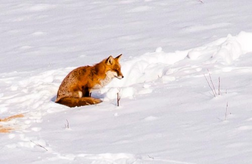droh_fox.jpg